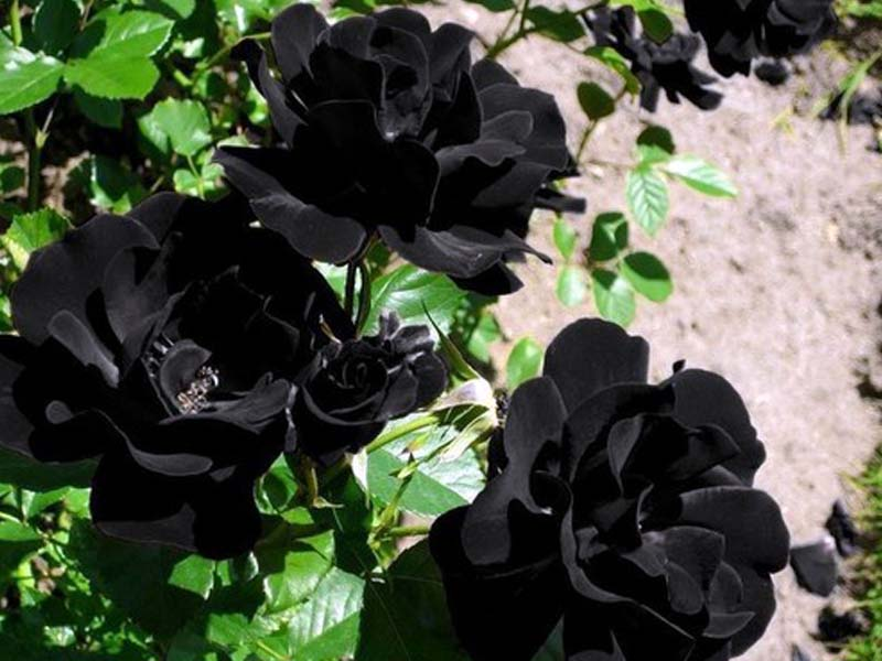 Black Roses In A Box, Easy Steps For Growing A Romantic Rose Garden