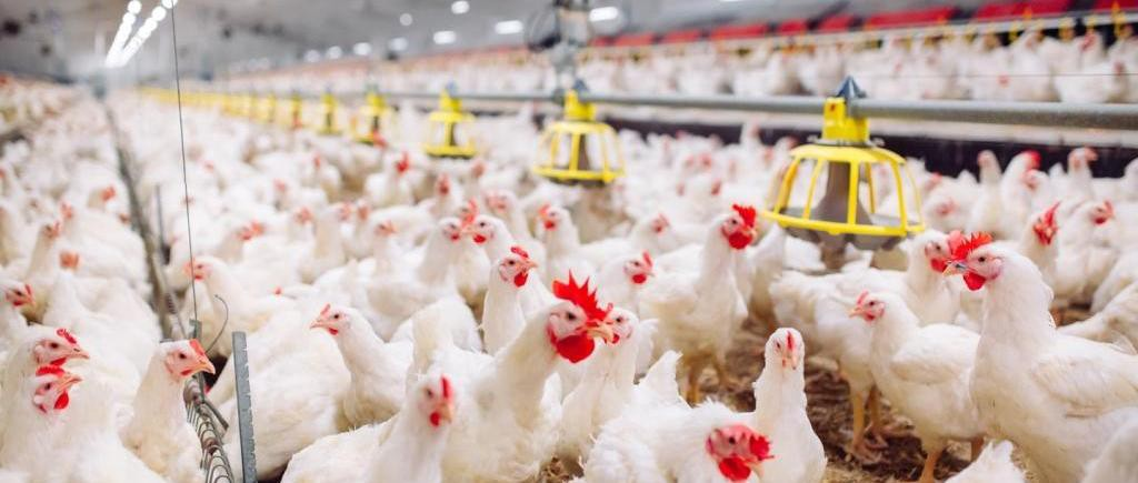 Global Poultry Manufacturing Market: Ken Research
