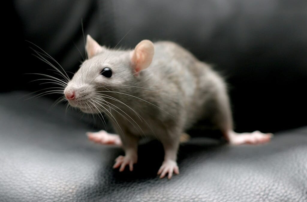 How to Get rid of Rodent